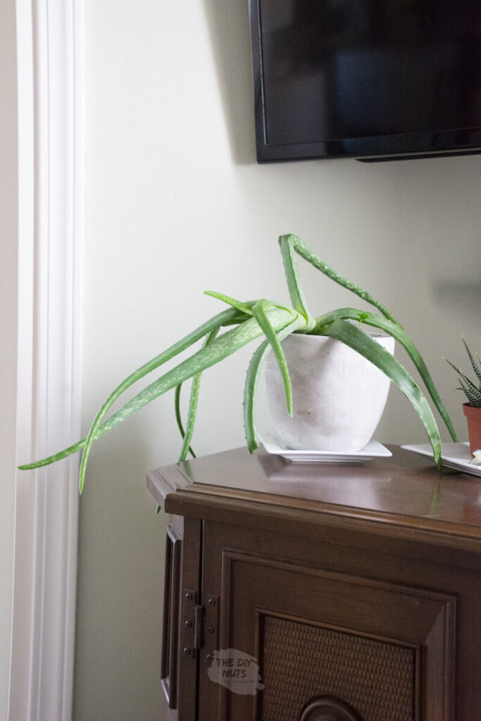 aloe plant in white pot in front of SW 6176 painted wall